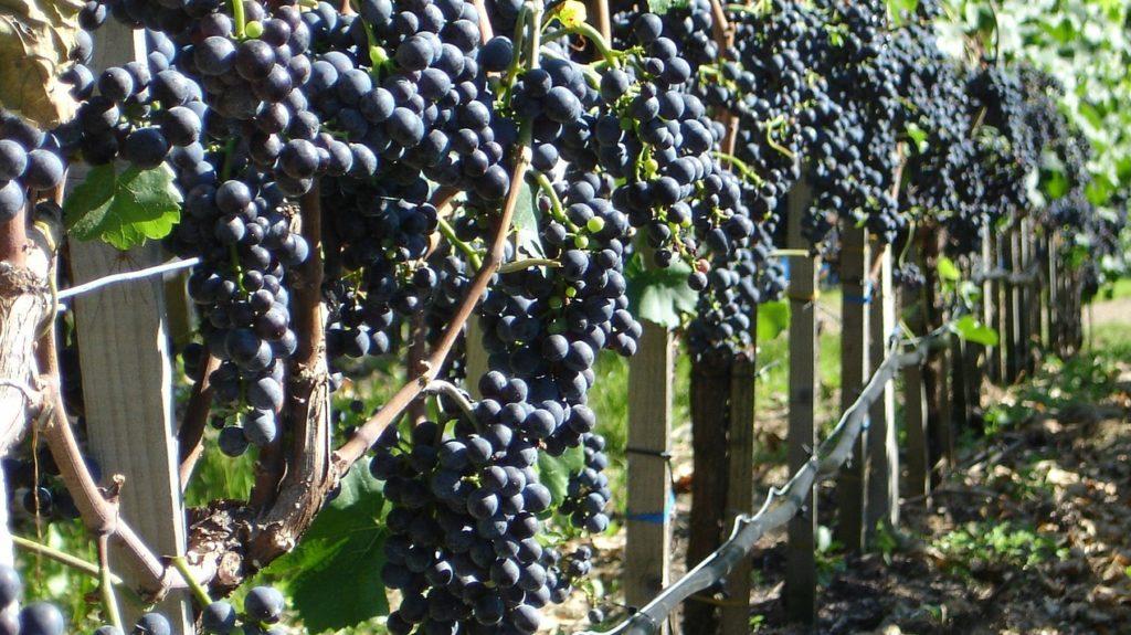 Wein und Lehmboden